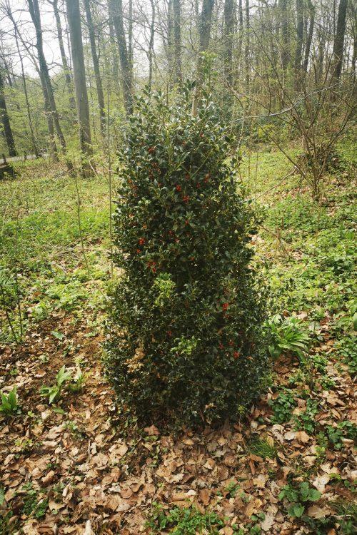 Die gepflanzte Stechpalme. Foto: Stadt Mettmann